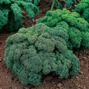 Borecole / Kale Dwarf Green curled 1500 seeds